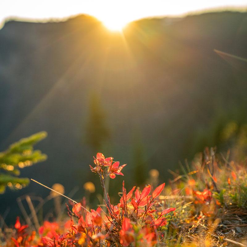 Hurricane Ridge Alpine Flowers